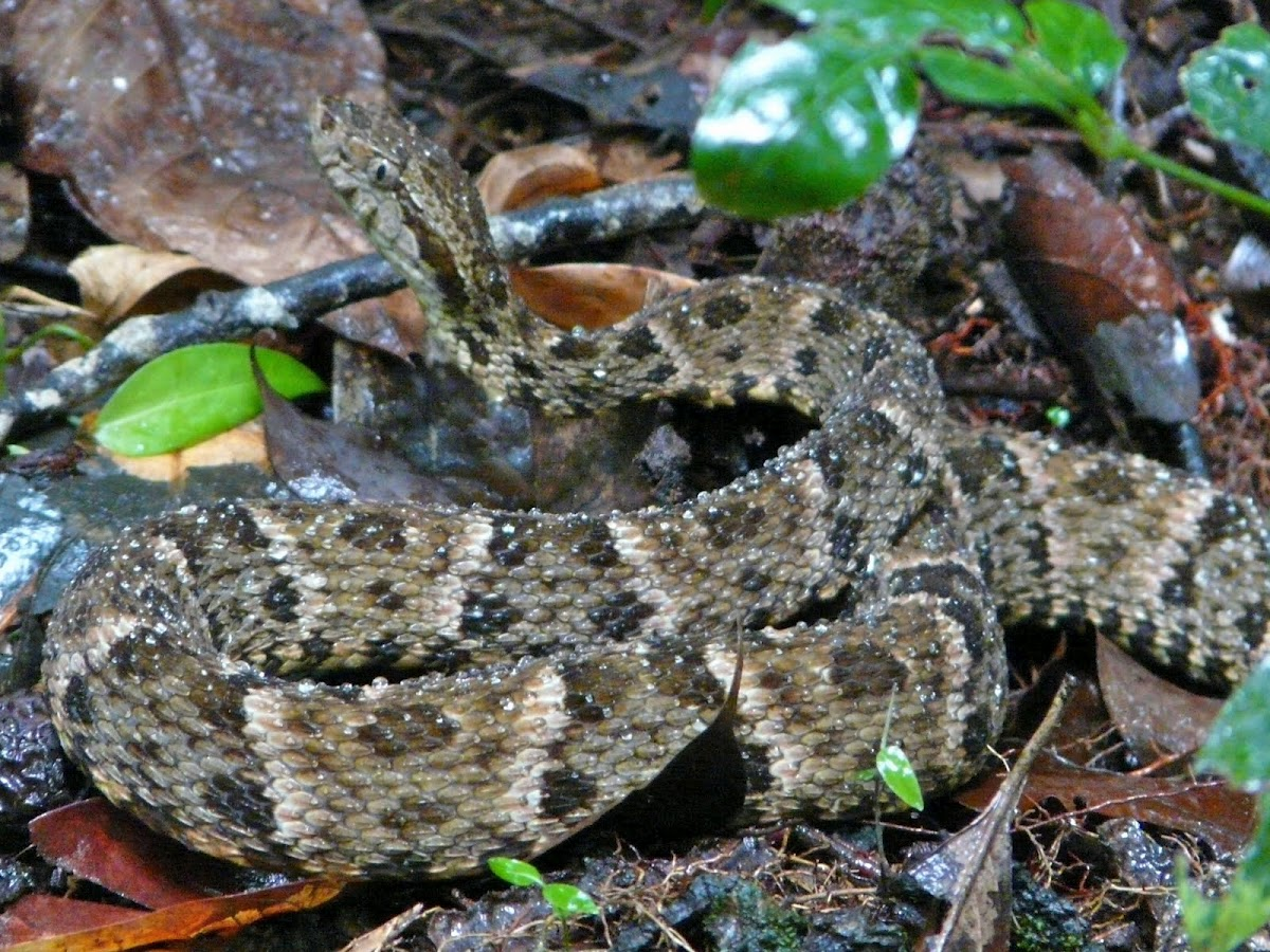 snakes attacks and venomous dangerous snakes free. Black Bedroom Furniture Sets. Home Design Ideas