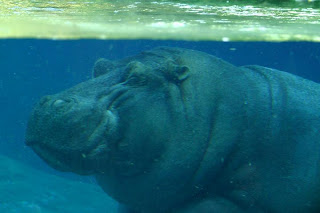 hipopotamo sumergido