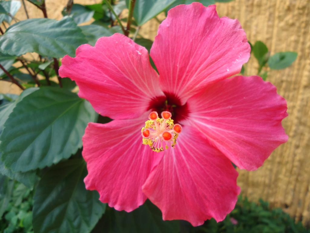 Flores y plantas Hermosas: Hibiscos Rosa-Sinensis