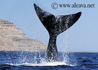 Whale Watching tour Valdes Peninsula
