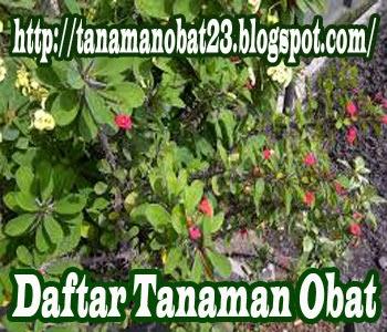 Tanaman Obat Kaktus Pakis Giwang  (Euphorbia milii Ch.des Moulins)