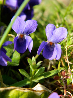 Photo of a wild Viola sp.