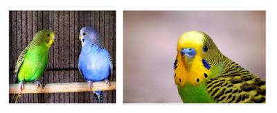 Cara Beternak Burung Parkit dengan Mudah dan Menguntungkan