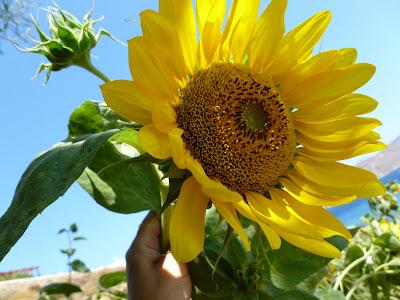 Gambar Bunga Matahari Terindah