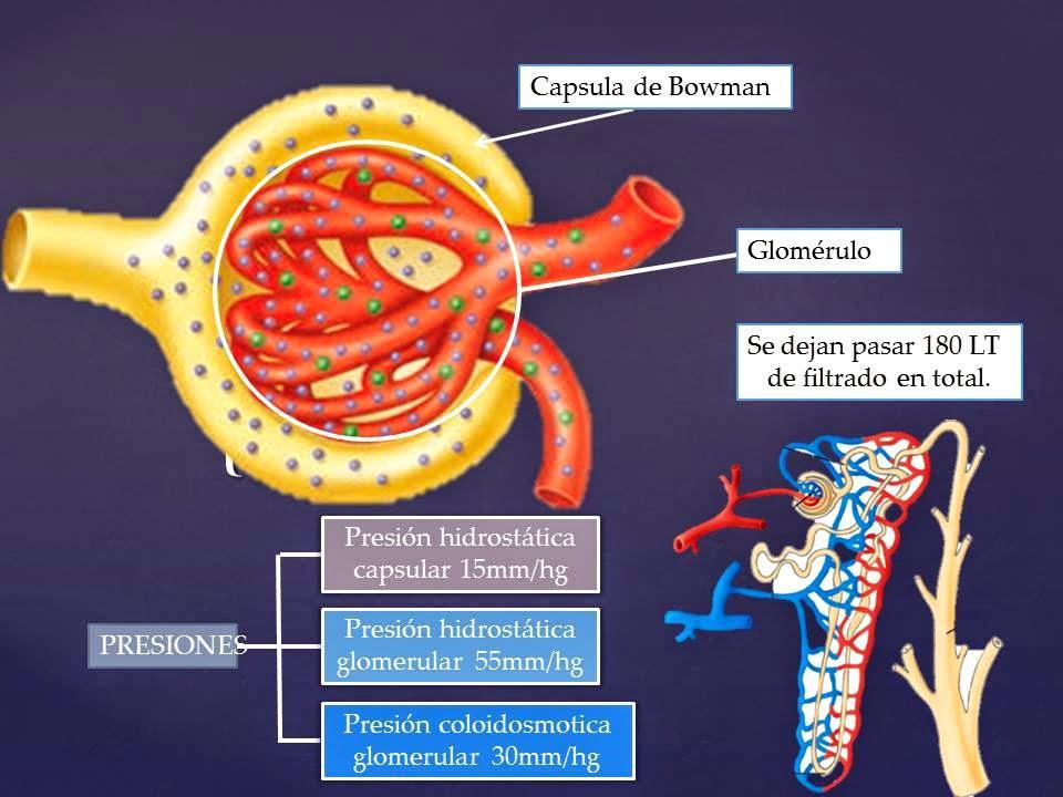 Glomerulo | Blog De Fisiologia Medica