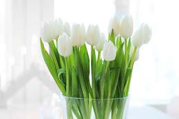 Tulipán blanco.