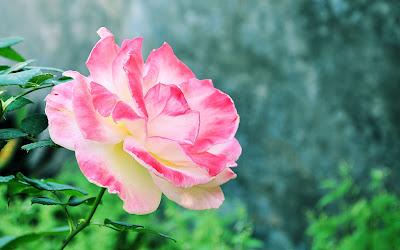 Bonita rosa de colores matizada en mi jardín