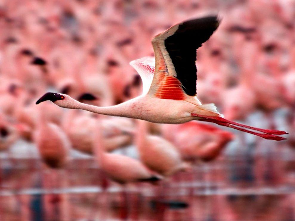 pink flamingo 1 birds - photo #48