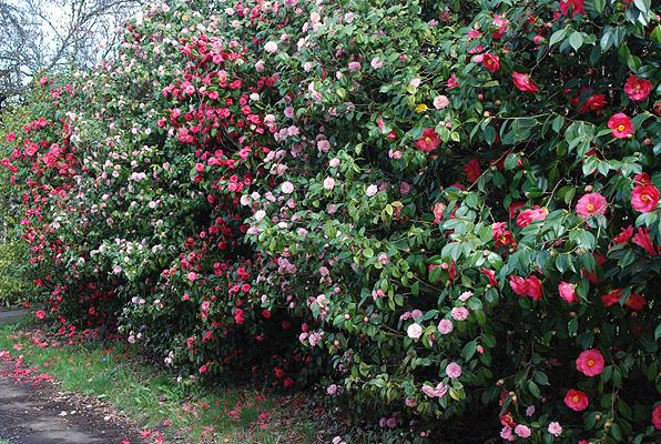 Gardening shady style alternatives to leyland cypress - Camelia planta ...