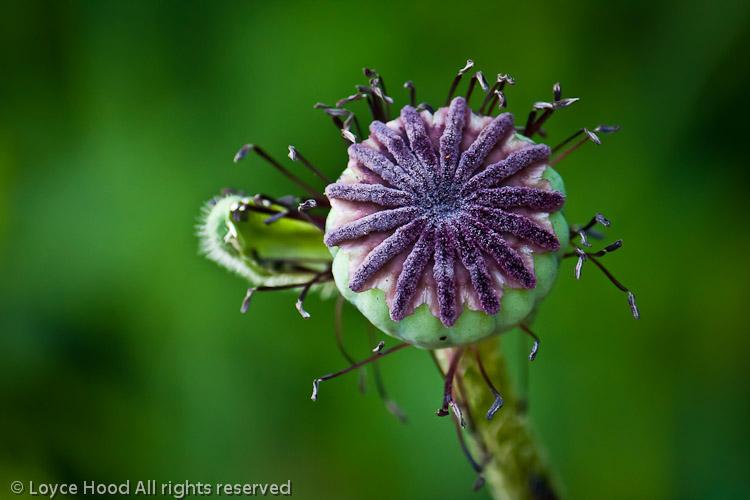Photo of the day oriental poppy seed pod oriental poppy seed pod mightylinksfo