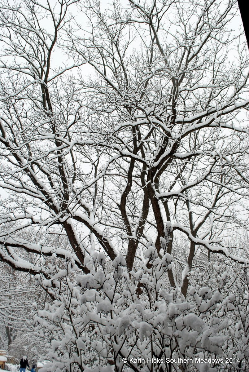 walnut trees covered in snow