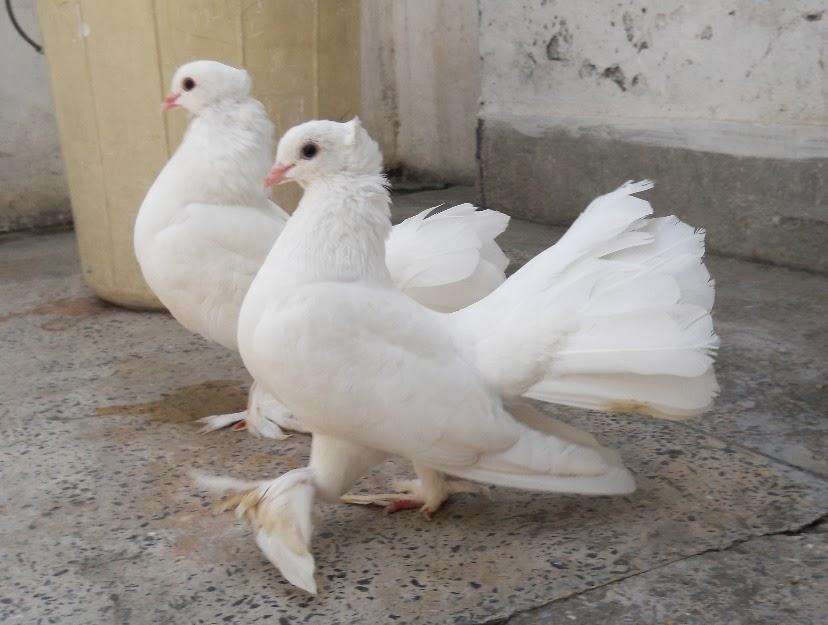 White Lakay Pigeon