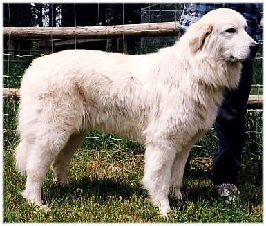 Colorado great pyrenees rescue community what s that big white dog