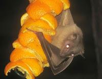 murcielago de la fruta