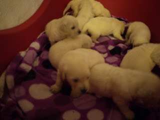 Golden Retriever cachorros