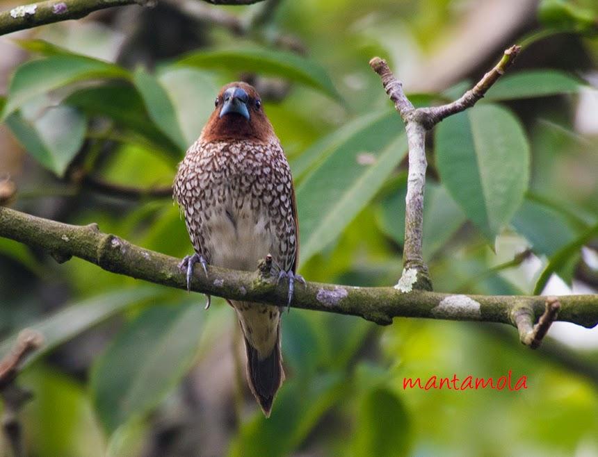 Scaly-breasted Munia ( Lonchura punctulata )