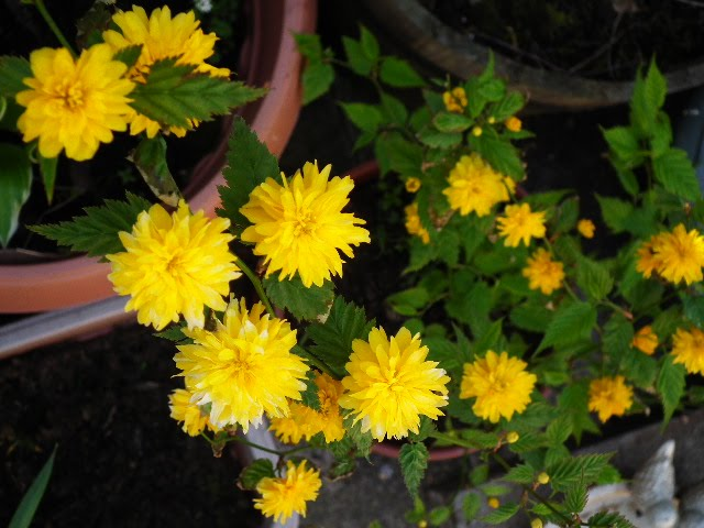 Snappys gardens blog japanese yellow rose one of the most beautiful plants in the garden at the moment is this kerria japonica it has these yellow cheerleader pom pom flowers mightylinksfo