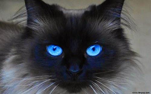 Album Photo de chat mignon avec des beaux yeux bleus.