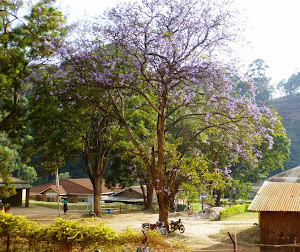 beautiful jacaranda tree