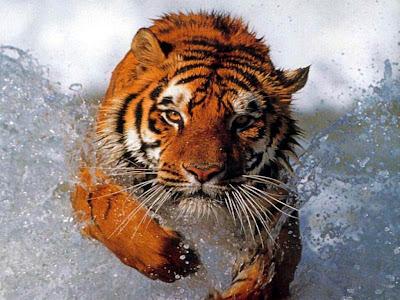 Tigre corriendo para cazar su comida