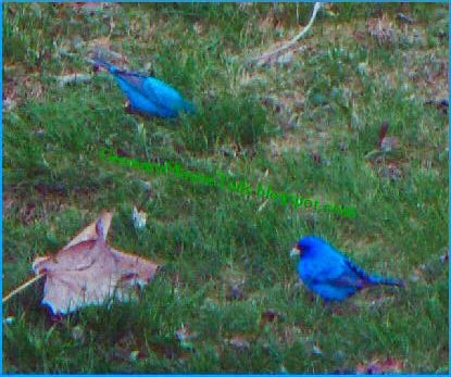 indigo buntings flying rainbow blue image