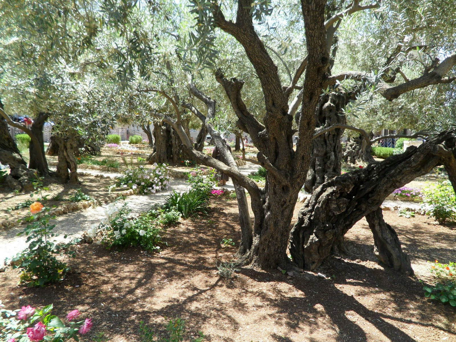 I love to tell the story garden of gethsemane for Age olive trees garden gethsemane