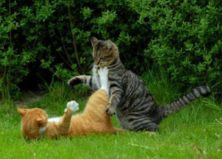 gambar kucing sedang berantem