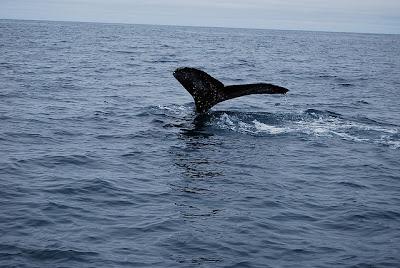 Whale Watching Islanda