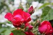 Ros sorter i vår trädgård (klicka på bilden...)