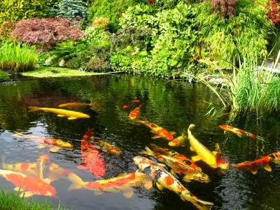 Koi fish clean water equals healthy koi pond fish for How to make koi pond water clear