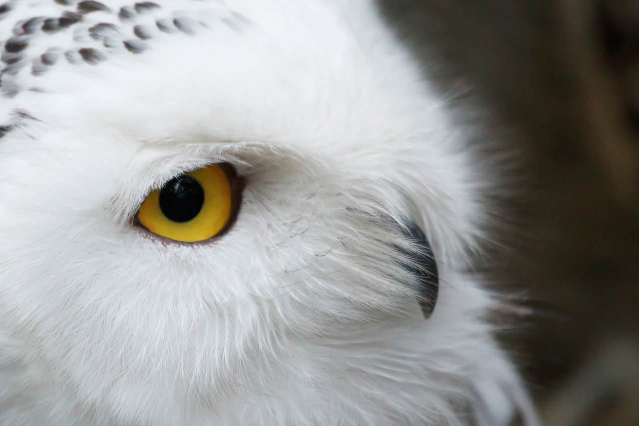 cute wildlife the snowy owl