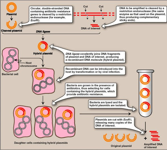 cloning for medicine Therapeutic cloning therapeutic cloning treats parkinson's disease in mice date: march 24, 2008 source: the study's results are published in the march 23 online edition of the journal nature medicine the work was led by senior author lorenz studer.