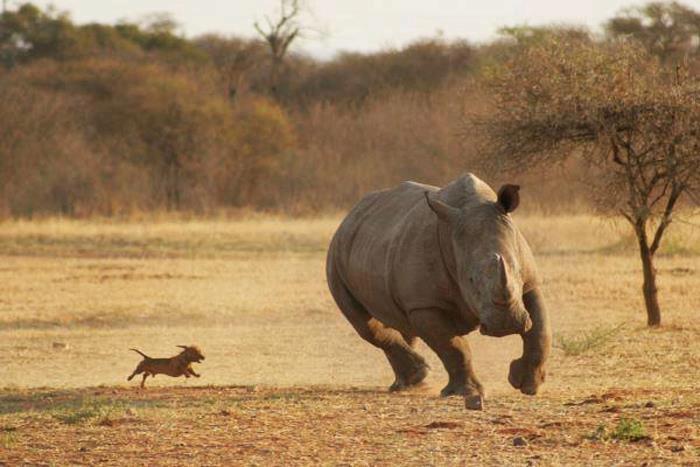 Endangered+African+Sav...