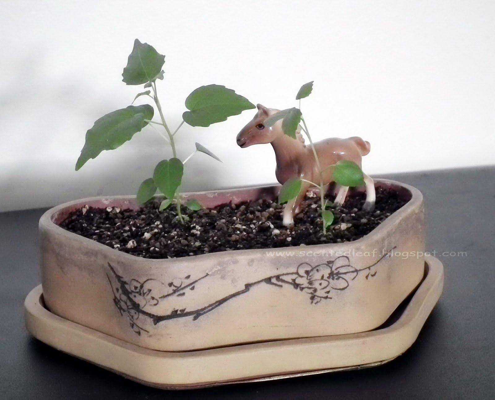 Scented Leaf Ficus Religiosa Seedlings