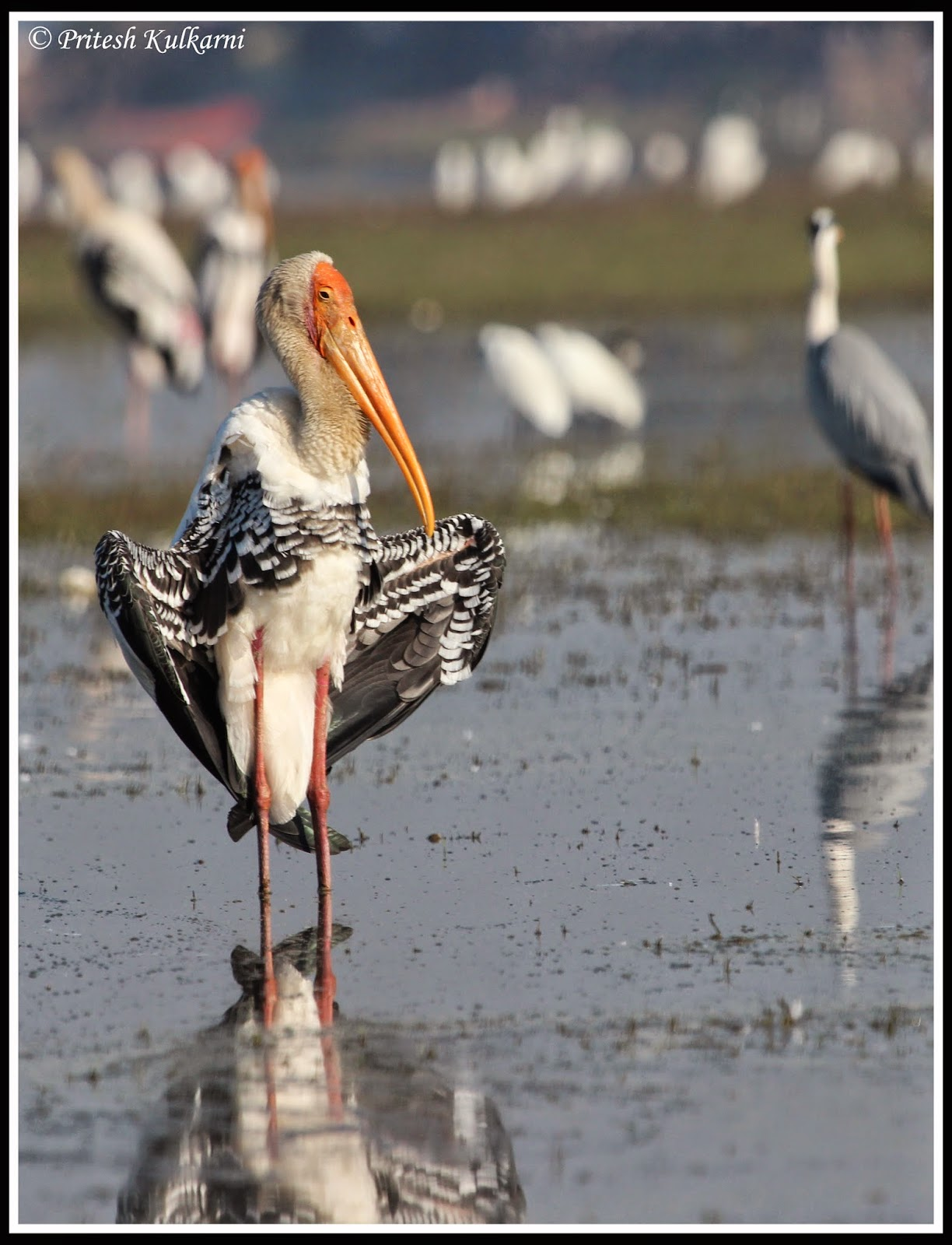 Basking in sun light - Painted stork