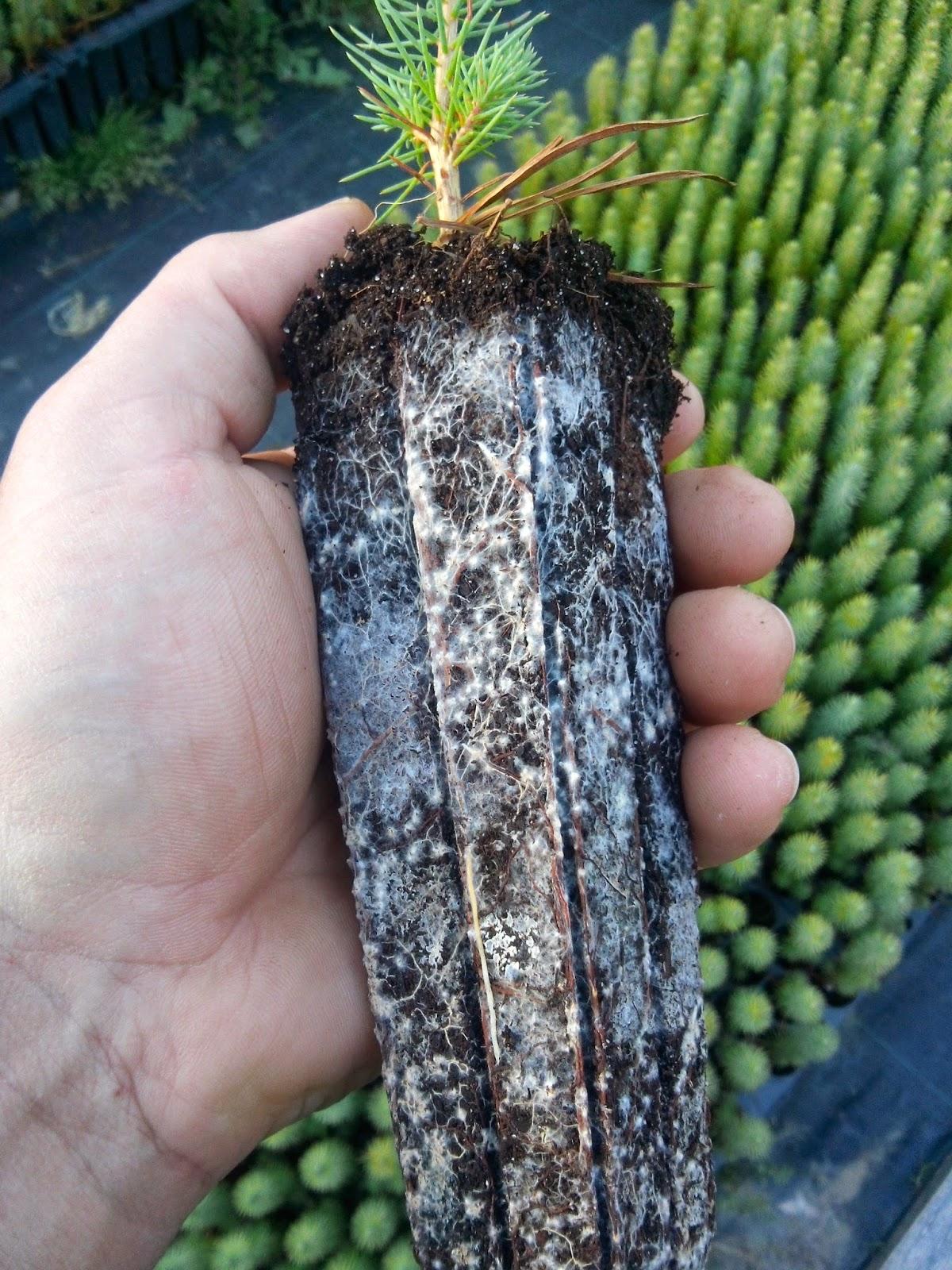 Viveros mayo pino pi onero con y sin micorriza for Tipos de viveros forestales