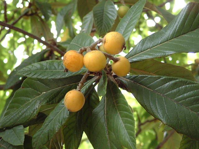 Los tipos de cultivos frutales for Tipos de viveros frutales