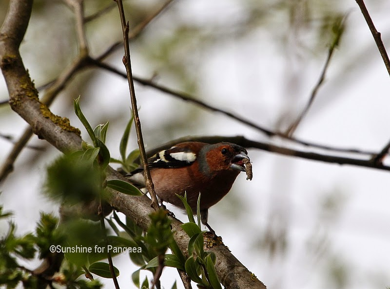 Common Chaffinch with a worm