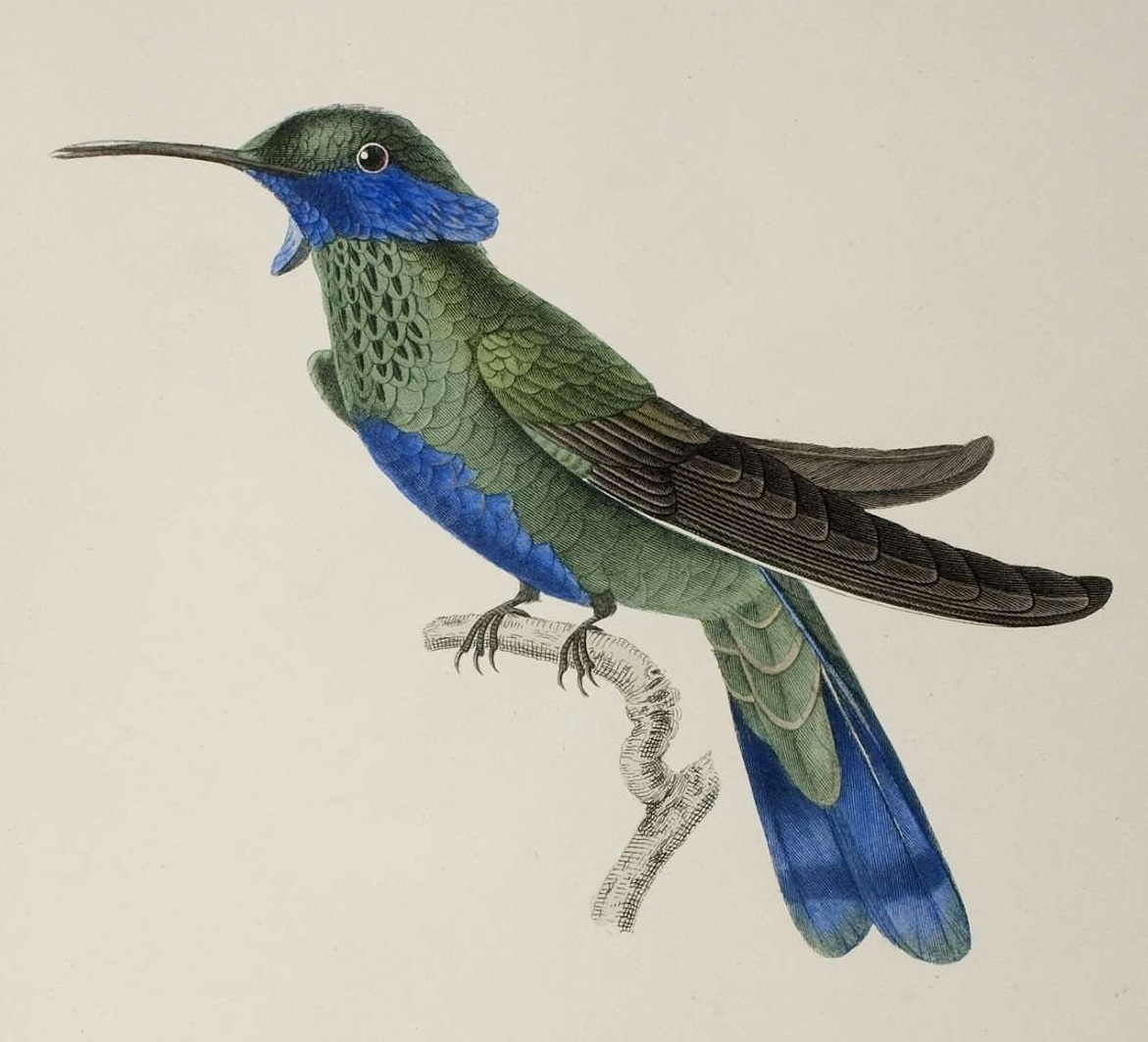 bird sketch 19th century