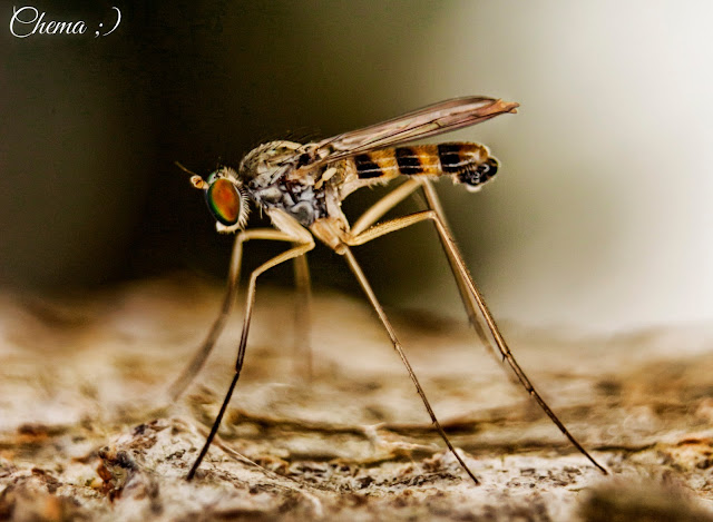 Mosquito atigrado ojos tornasol en fotosmacro.blogspot.com