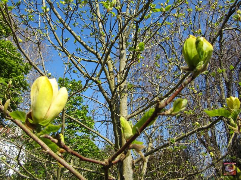 """Magnolia 'Yellow Bird' (M. acuminata x M. brooklynensis """"Evamaria"""") Magnolia amarilla"""