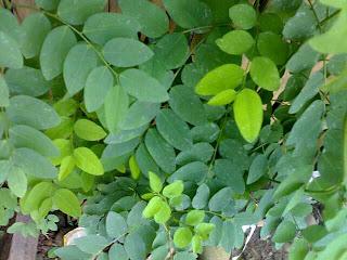 daun katuk untuk kesehatan
