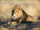 Você é meu leão preferido
