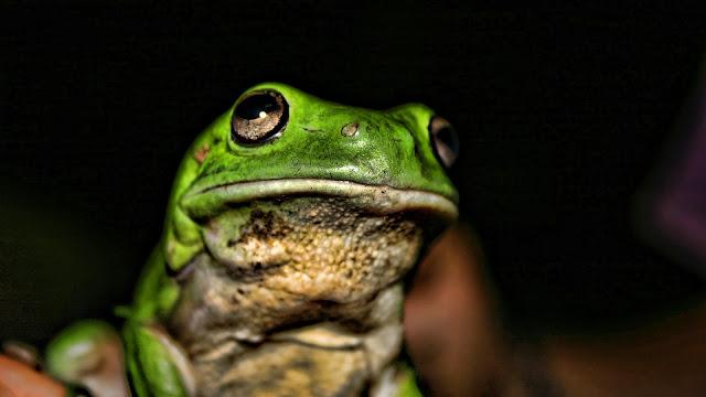 Green Little Frogger