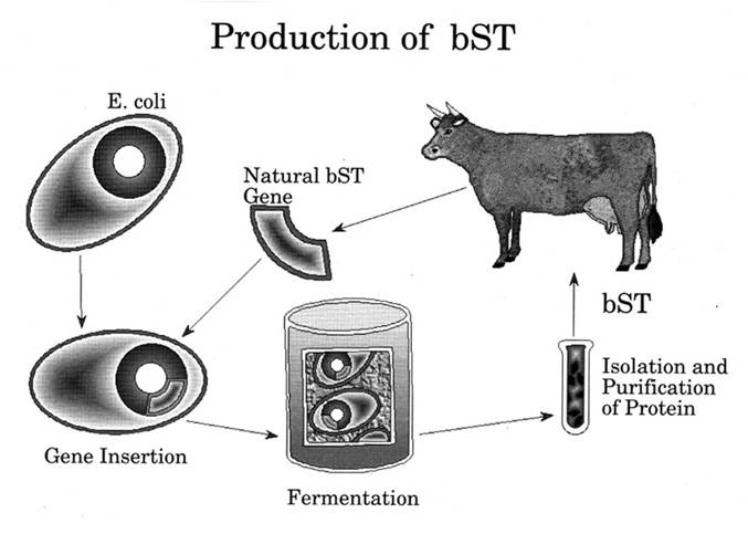 the bovine somatotropin hormone Somatotropin definition, a hormone secreted by the anterior pituitary gland, that stimulates growth in humans see more.