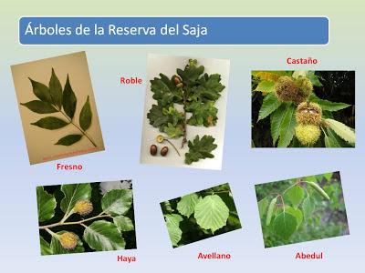Sendereamos reconoce los rboles por sus hojas for Nombres de los arboles de hoja perenne