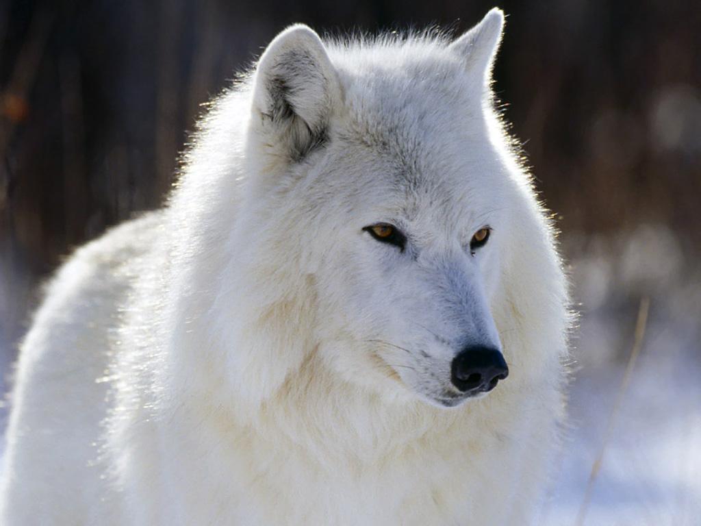 http://2.bp.blogspot.com/-5R8TyflZeP0/TVTe7A0xYgI/AAAAAAAAAMg/9McGo1_1dPI/s1600/animal-wallpaper-arctic-wolf.jpg