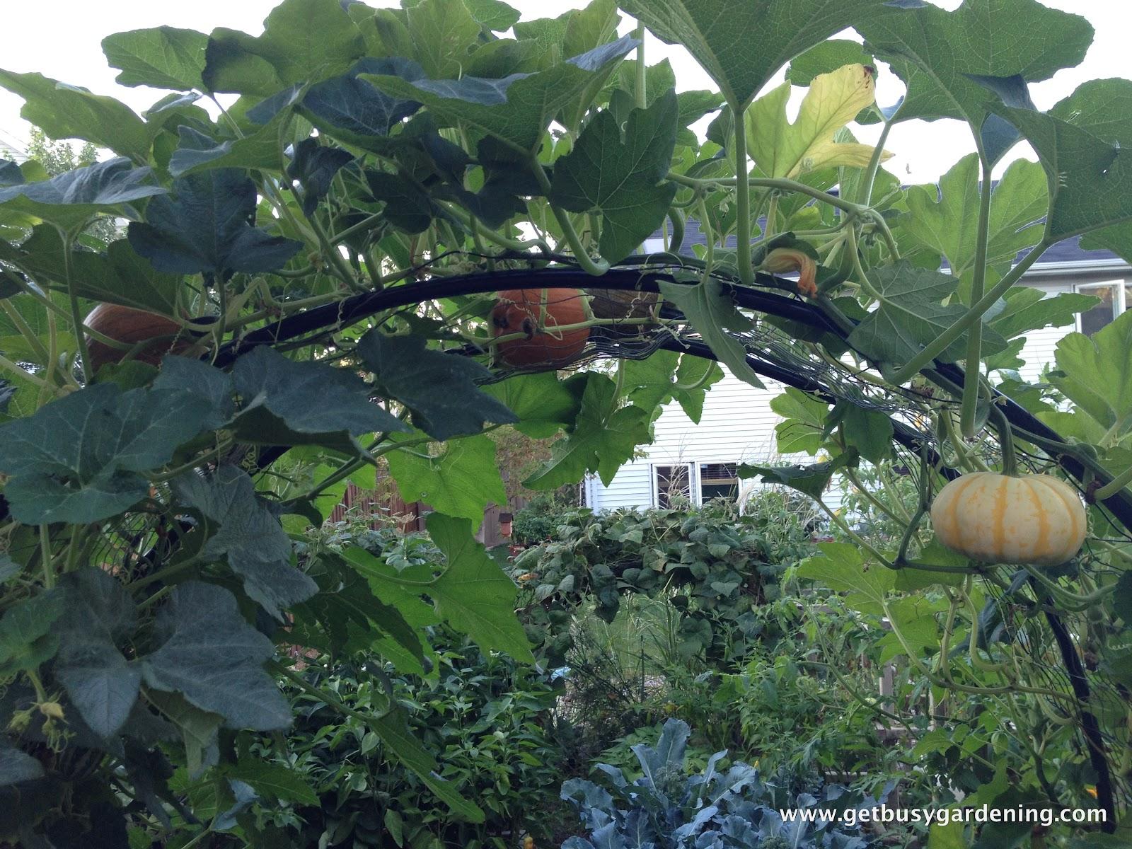 Squash Arch Update Get Busy Gardening