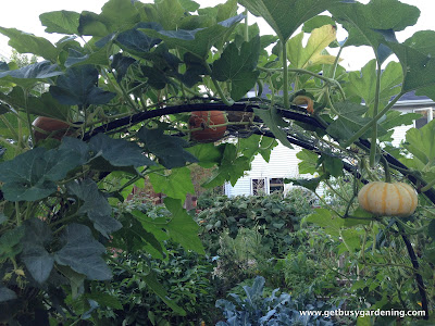 Close up of squash and pumpkins growing on squash arch