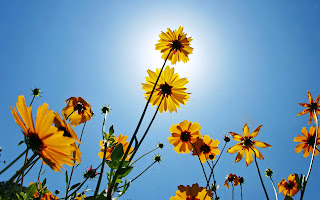 margaritas cerca del sol